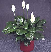 Peace Lily From Europe – Spathiphyllum Figaro