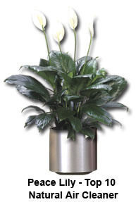 peace lily spathiphyllum ranked in the Top 10 of houseplants to absorb and remove toxic chemicals for homes and buildings