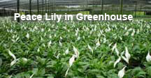 Peace Lily growing in Florida greenhouse