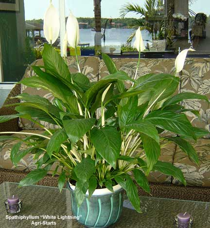 peace lilly featuring white stems from Agri-Starts