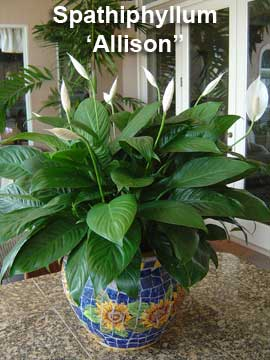 Spathiphyllum Allison – Peace Lily for Small Spaces!