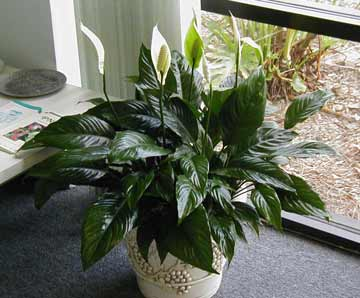 Spathiphyllum Annette - Peace Lilly